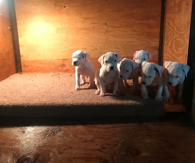 Available Dogo Argentino puppies